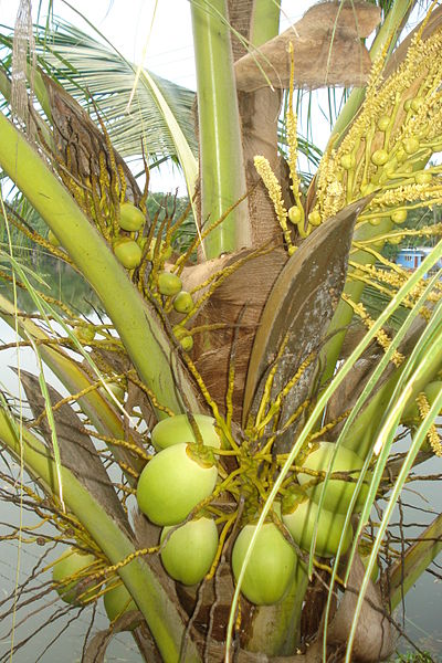File:Tender Coconuts of different stages.jpg