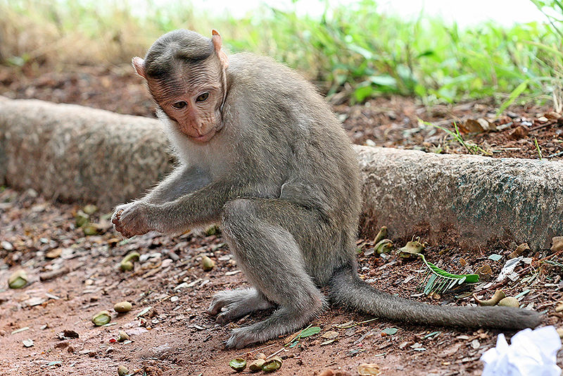 Crabeating macaque  Wikipedia