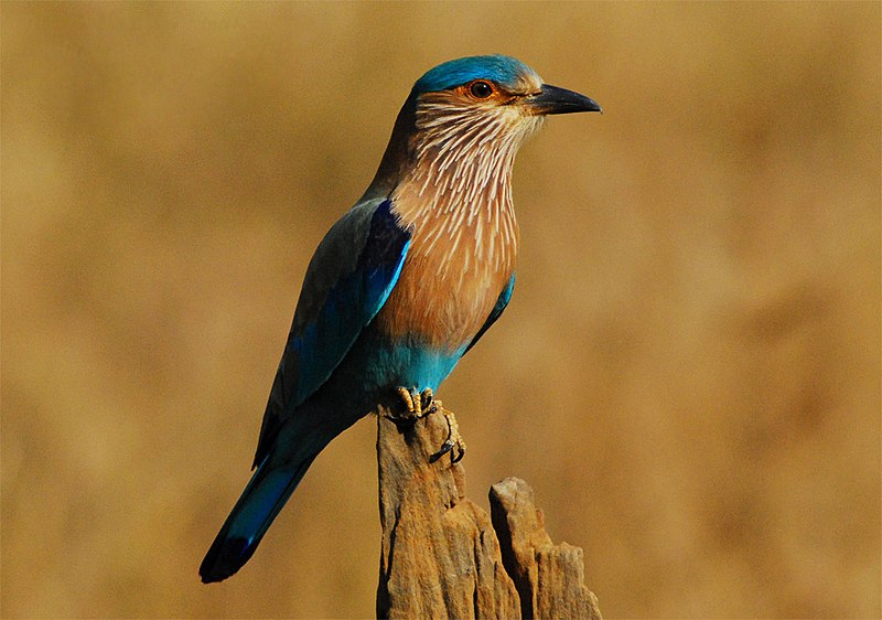 File:Indian Roller Bandhavgarh.jpg