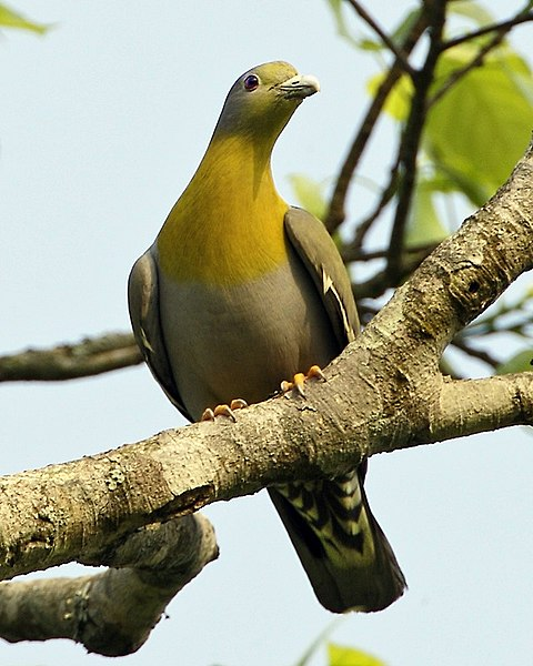File:Yellow-footed Green-Pigeon (Treron phoenicopterus) male-8.jpg