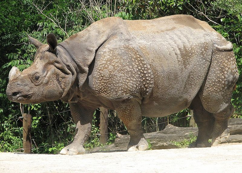 File:Indian Rhino Image.jpg