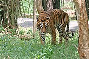 Bengal Tiger in Bangalore.jpg