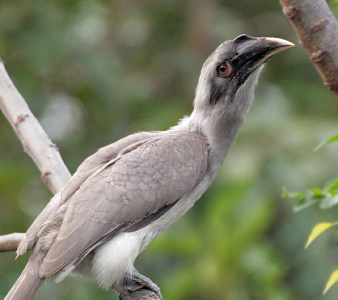 File:Indian Grey Hornbill I2 IMG 9029.jpg