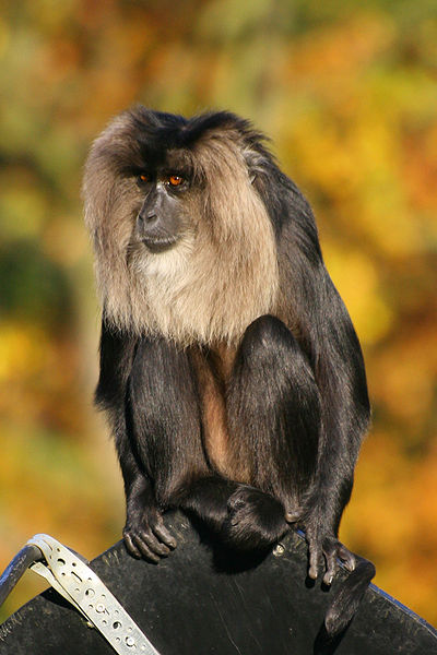 File:Lion-tailed Macaque.jpg