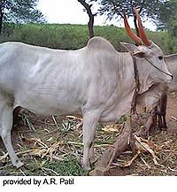 Krishna Valley Cattle.jpg