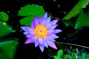 Nymphaea stellata biodiversity of india a wiki resource for nymphaea stellata mightylinksfo