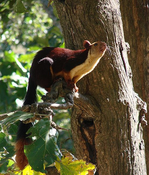 File:Malabar Giant Squirrel-Dogra.jpg