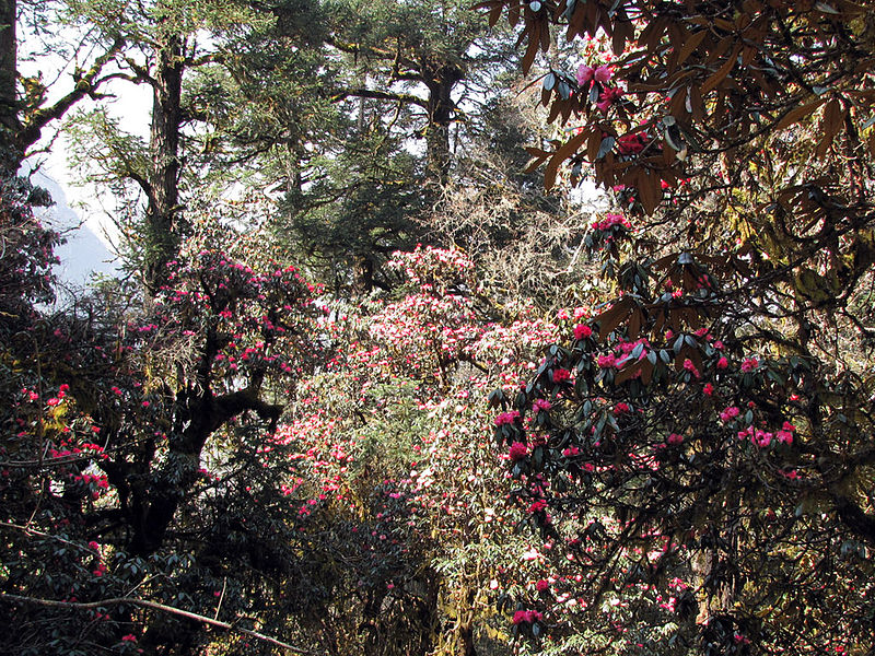 File:Manaslu-Circuit Rhododendron Forest.jpg