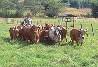 Native cow varieties of India - Biodiversity of India: A Wiki
