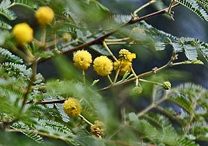 Acacia Nilotica Biodiversity Of India A Wiki Resource For Indian