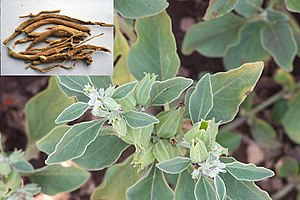 Withania somnifera - Biodiversity of India: A Wiki Resource for