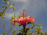 Hibiscus Rosa Sinensis Biodiversity Of India A Wiki Resource For