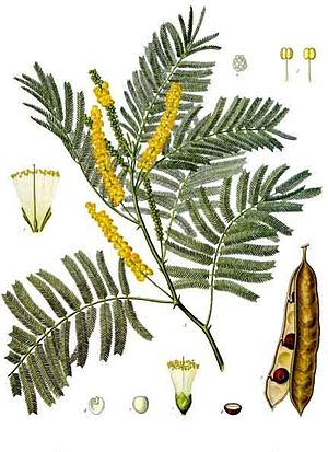 Acacia catechu - Biodiversity of India: A Wiki Resource for